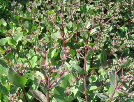 heat tolerant succulent plant www.hudsonvalleygardens