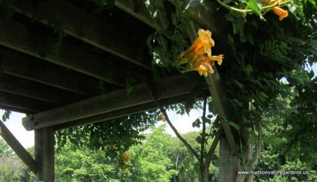 wooden pergola with yellow trumpet vine growing up it