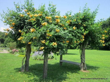 Wooden pergola with four posts, with a yellow trumpet vine growing up each post, covered in green foliage and yellow flowers
