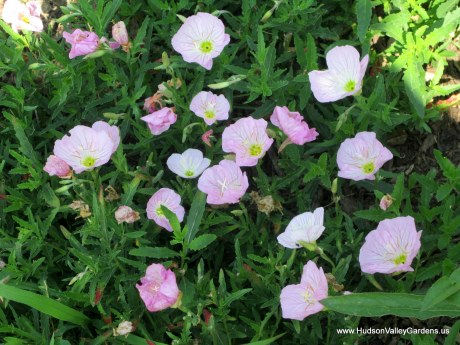 Pink evening primrose flowers and green foliage