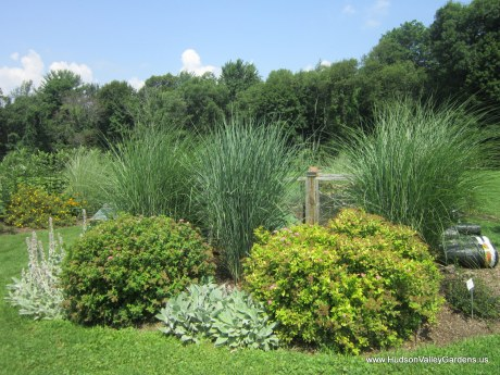 spirea shrubs, lambs ears plants and ornamental grasses in a garden
