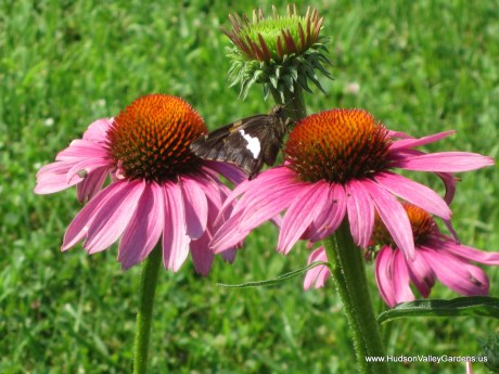 skipper butterfly on purple coneflowers (echinacea species)