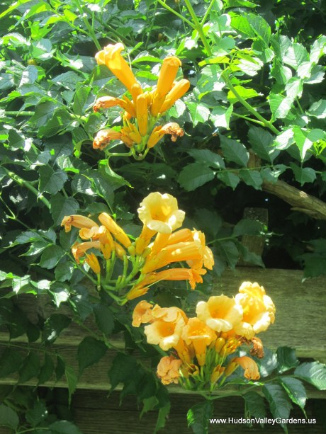 Close up of three clusters of yellow trumpet vine flowers and green leaves