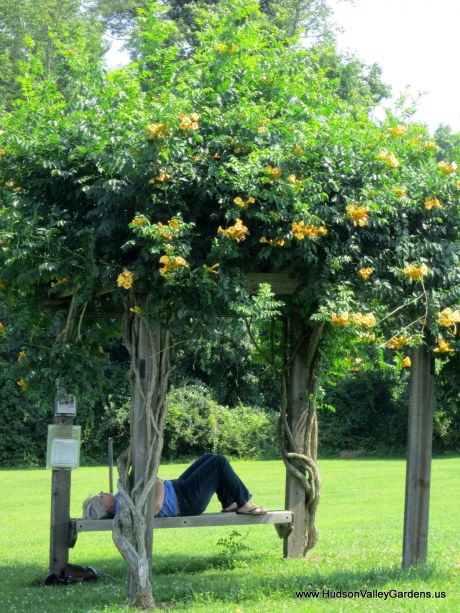 A lady lying on a bench which is part of a pergola, with yellow trumpet vine growing on it.