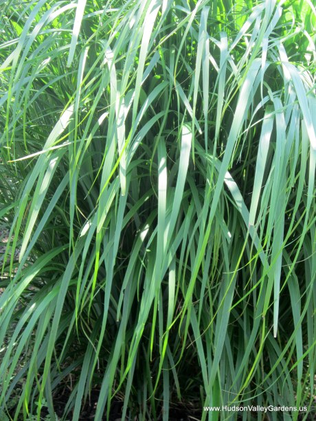 Shiny, green leaves of a drought-tolerant ornamental grass at the xeriscape garden at Ulster Community College in Stone Ridge NY