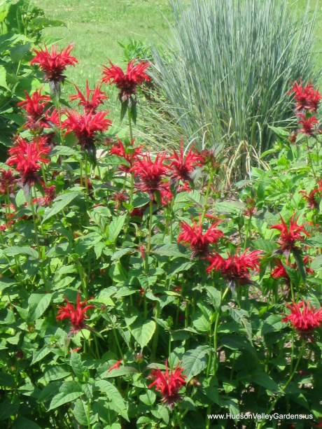 Drought-tolerant monarda (red flowers) and ornamental grasses