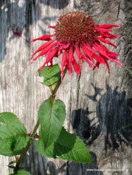 A single monarda flower