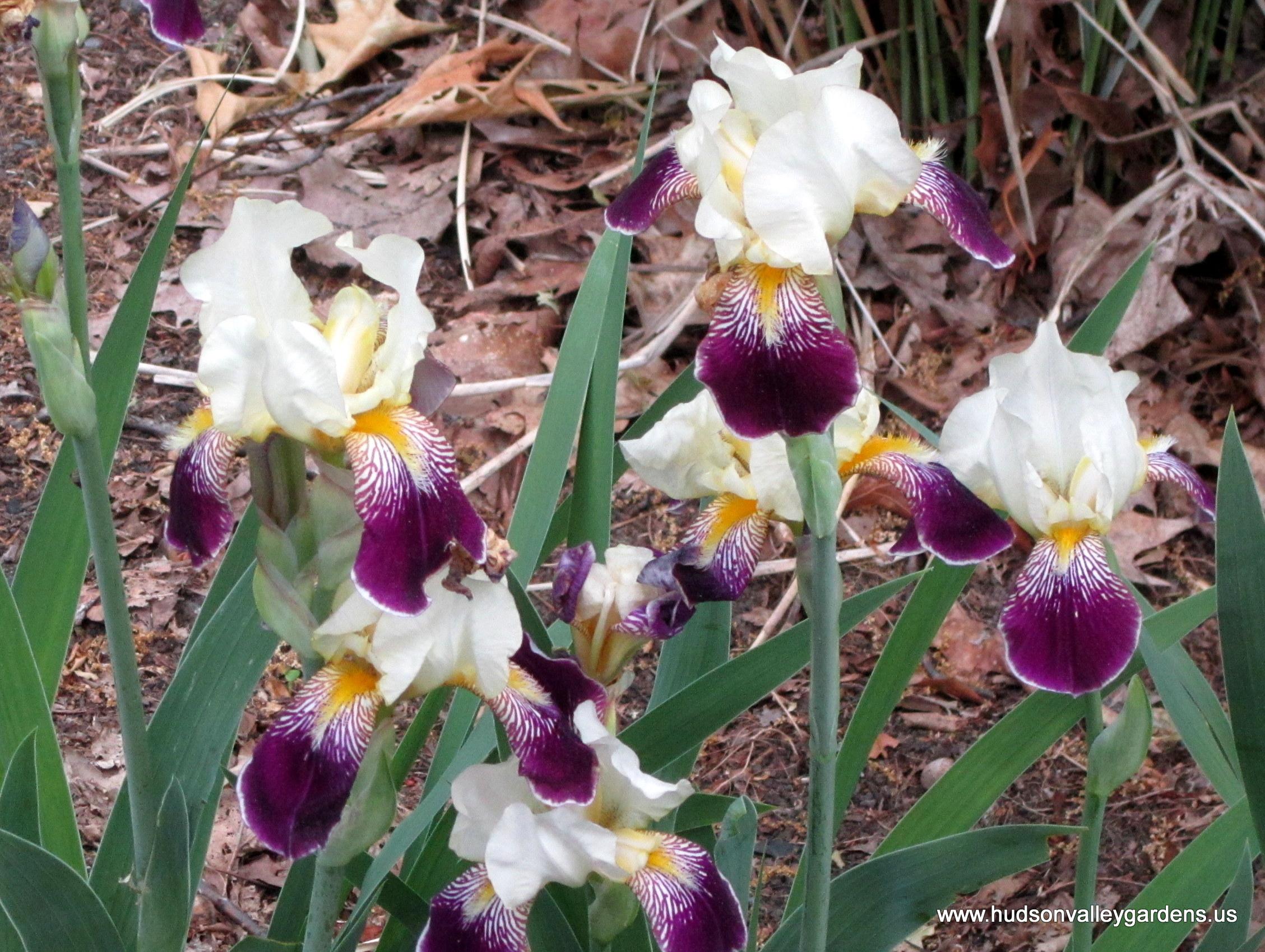 Top ten deer resistant plants for the hudson valley hudson valley bearded iris plants are deer resistant izmirmasajfo