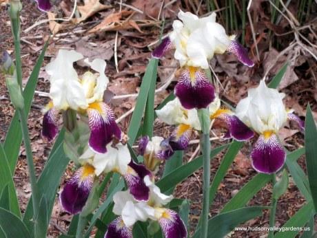 bearded iris plants are deer resistant