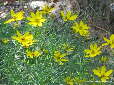 coreopsis moonbeam with yellow flowers