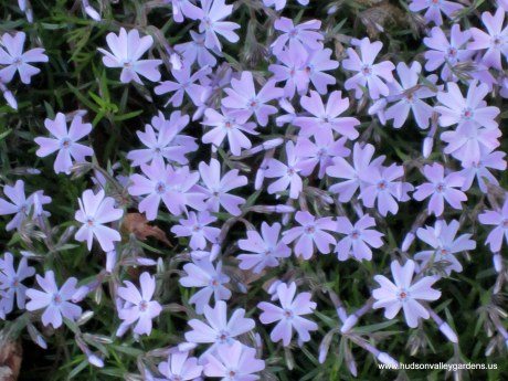 creeping phlox is not deer food