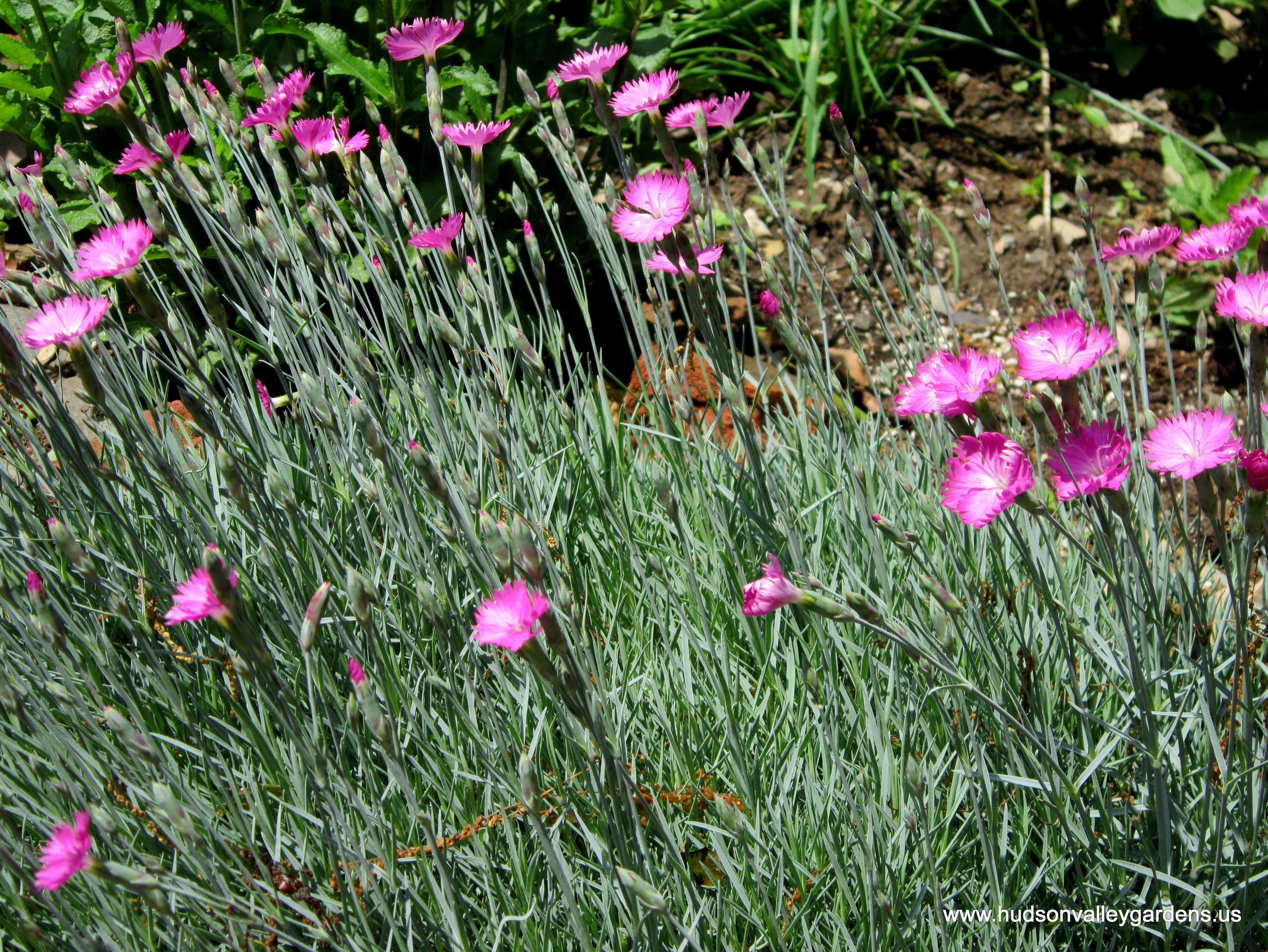 Top ten deer resistant plants for the hudson valley hudson valley dianthus fire witch has magenta flowers and is not eaten by deer izmirmasajfo