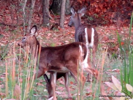 white tailed deer eating plants in a garden