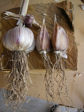 Asiatic garlic