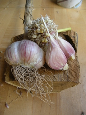 marbled-purple-stripe-garlic-grand-gorge-garlic-and-maple-farm