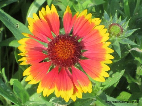 red and yellow gaillardia flowers are never eaten by deer