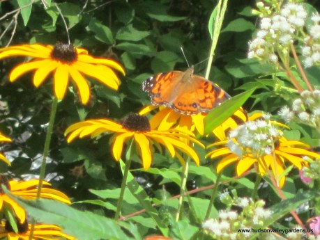 rudbeckia flowers with butterfly