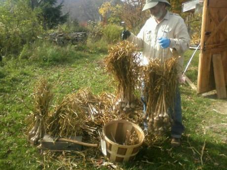 Garlic farmer with turban varietal garlic at Grand Gorge Garlic and Maple Farm