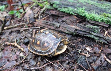 A baby Box Turtle