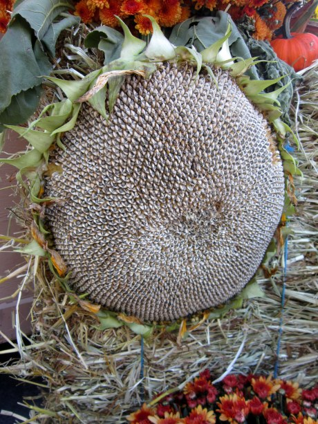 A dried sunflower full of seeds