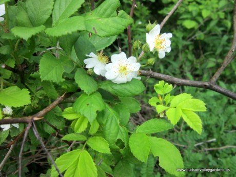 a photo of a shrub rose with green leaves, a brown stem and small white rose flowers, this is an invasive plant in the Hudson Valley NY