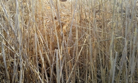 Phragmites stems form a thicket