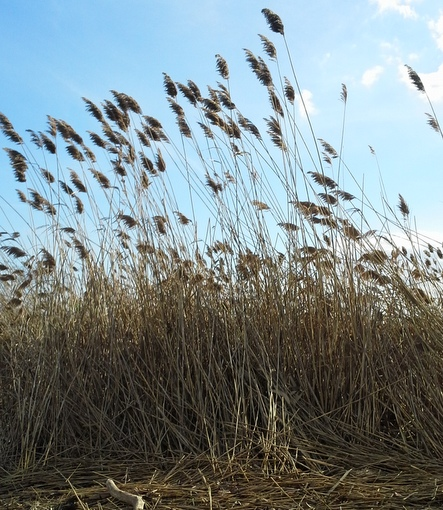 Phragmites stems and seed heads